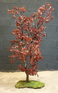 Red pittosporum