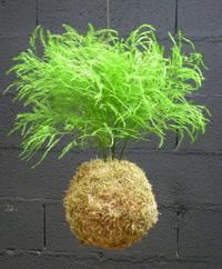 Kokedama Tree Fern