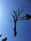 arbre mort ref 5047